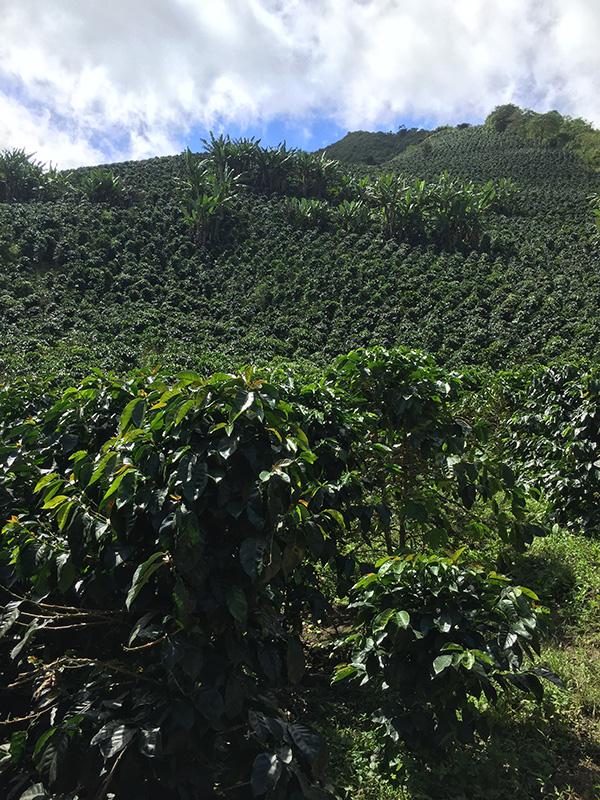 coffee-tours-hacienda-primavera-galletti-1