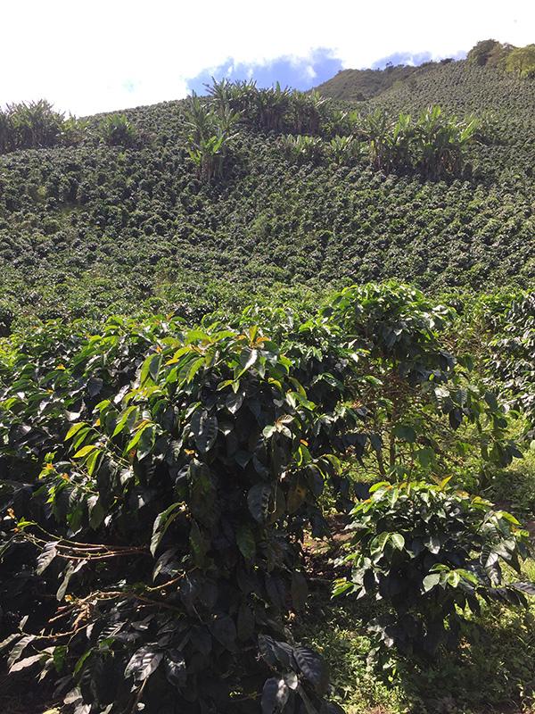 coffee-tours-hacienda-primavera-galletti-18